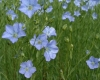 Льняное масло - целебные свойства красивого цветка