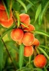 Персики: польза и вред солнечных плодов