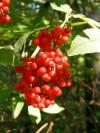 Бузина красная: полезное, но недооцененное растение
