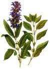 Лечение бесплодия шалфеем – чудодейственные силы растения