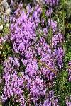Чабрец - замечательное растительное лекарственное средство