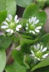 Лечебные свойства мокрицы – сорняк, который может быть лекарством