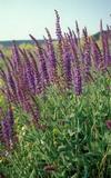 Шалфей - cвященная трава