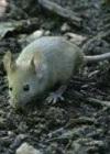 Мышиная лихорадка – симптомы сигнализируют о смертельной опасности
