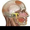 Тройничный нерв и его поражение: что происходит в организме?