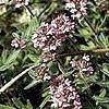 Тимьян и его полезные свойства: чабрец или богородская трава