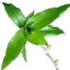 Золотой ус - лечебные свойства удивительного домашнего растения