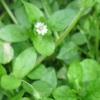 Мокрица - лечебные свойства и противопоказания применения травы